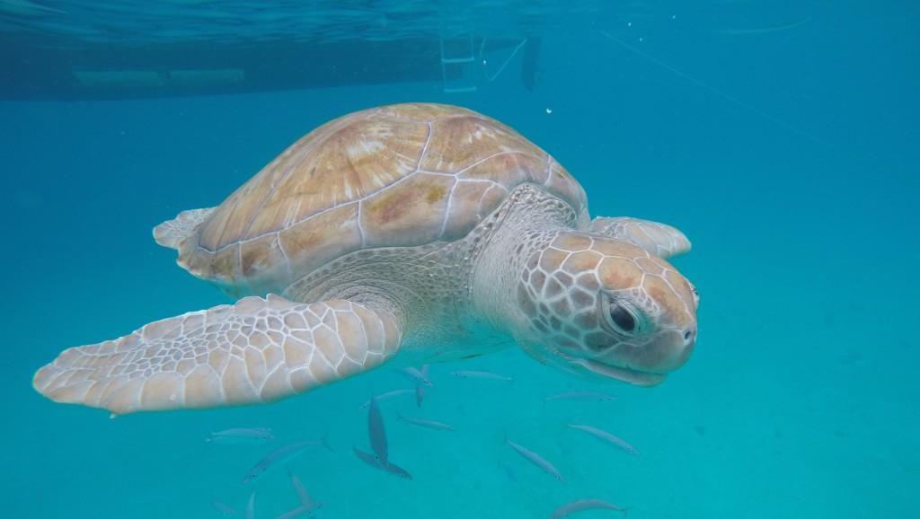 tartarugas Barbados.
