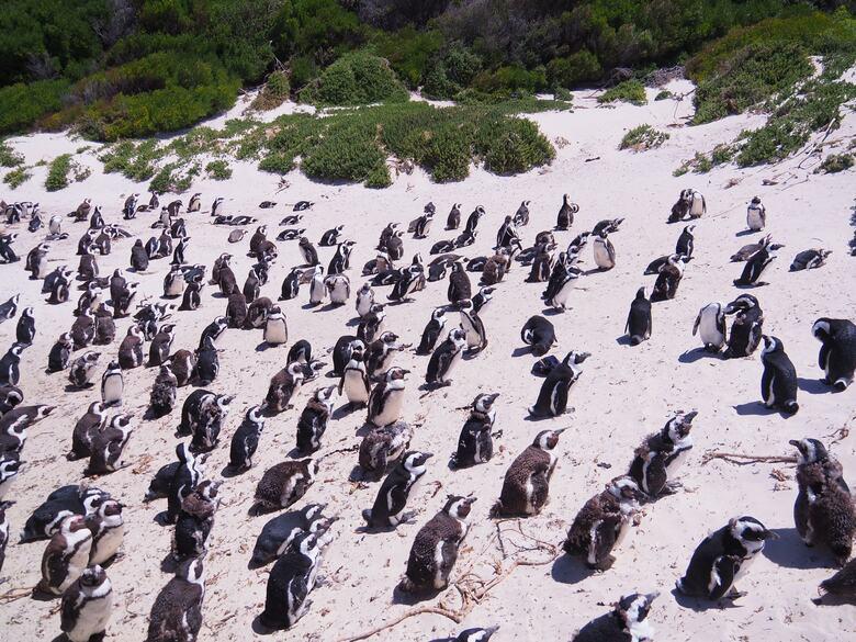 africa do sul turismo boulders beach